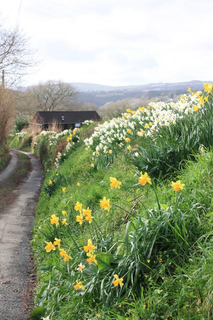 Daffodils in Bere Alston